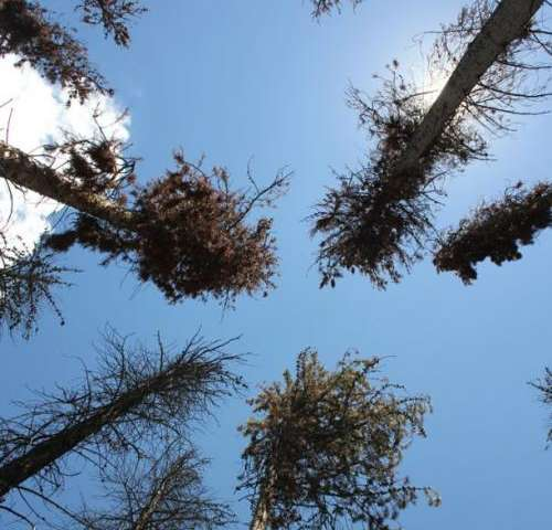 Dead forests release less carbon into atmosphere than expected