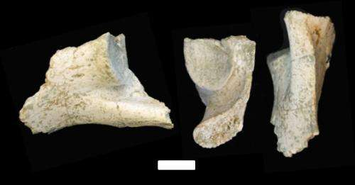 Fossil of great ape sheds light on evolution