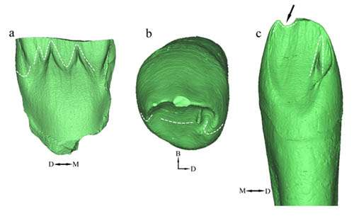 Middle Pleistocene teeth adding new data to discussion of evolutionary course in Asian hominins