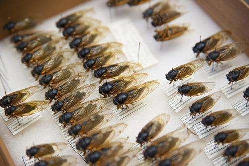 Research suggests complex genetic heritage in three cicada species