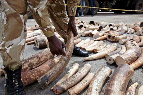 A Kenya Wildlife Service (KWS) Ranger numbers a confiscated ivory consignment at the Mombasa Port on October 8, 2013