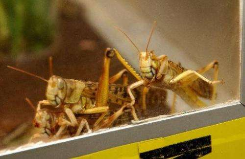 A picture released on August 9, 2004 shows desert locusts, an insect that consumes its own weight in vegetation every day