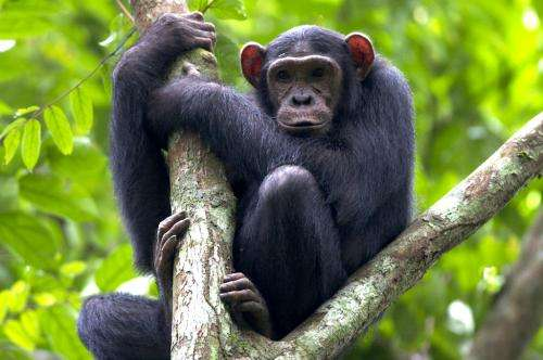 Conservationists release manual on protecting great apes in forest concessions