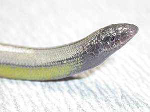 Four new species of 'legless lizards' discovered living on the edge