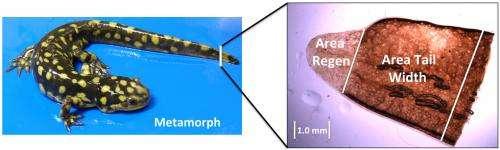 Genetic factors shaping salamander tails determine regeneration pace