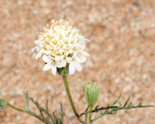 Invasion in the desert: Why some plant species are survivors