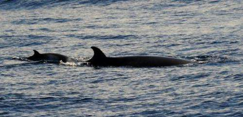 Japanese whalers in the northwestern Pacific caught a record-low 34 minke whales this Spring