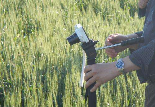 Researchers help threatened wheat crops in Asia, Africa