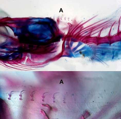 Sharksucker fish's strange disc explained