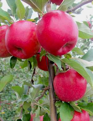SnapDragon and RubyFrost are new apple varieties