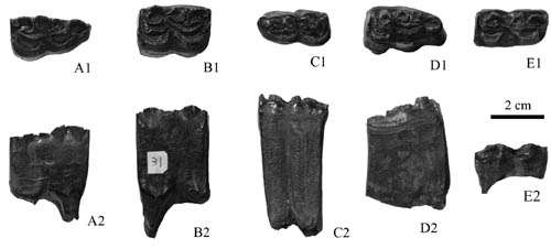 Two Miocene Hipparion species identified from Shihuiba locality of Lufeng, Yunnan, China