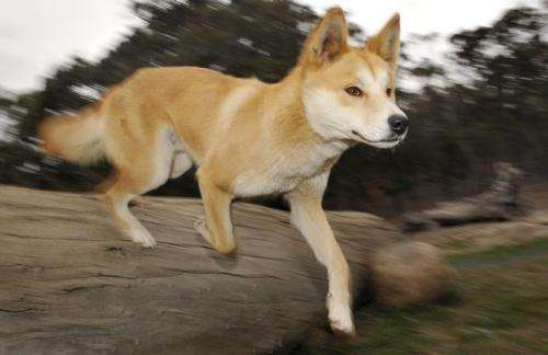 Who's afraid of the big bad wolf: Is the dingo friend or foe?