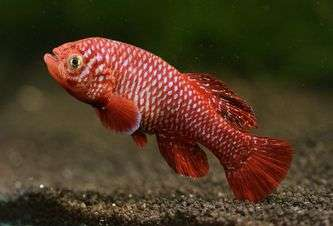 The African fish that lives fast and dies young