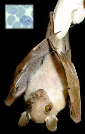 Scientists find soaring variety of malaria parasites in bats