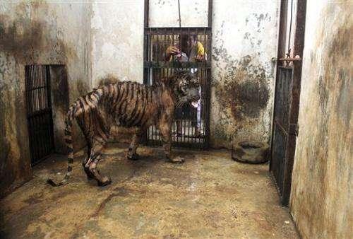 Sumatran tiger may be euthanized at Indonesia zoo