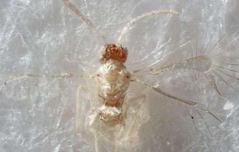 Tinkerbella nana, a new species of fairyfly