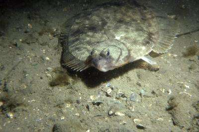 New study shows inbreeding in winter flounder in Long Island's bays
