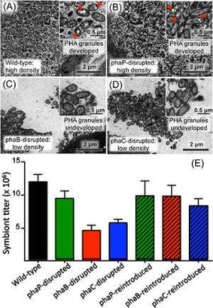 Novel biological function of polyester in insect-bacterium symbiosis