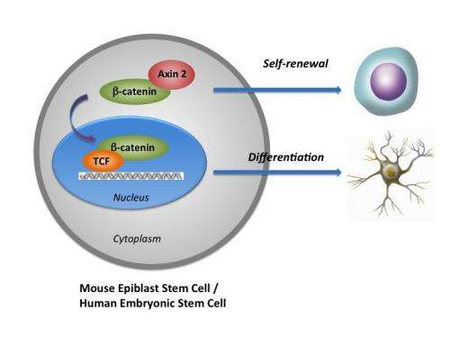 Study reveals how to better master stem cells' fate