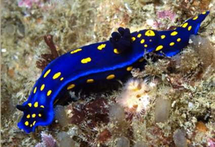 University of California's unofficial favorite sea slug poised to make a comeback