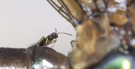 Newly discovered wasp is a parasitic piggyback