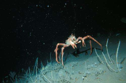 [press release] Evidence suggests Antarctic crabs could be native