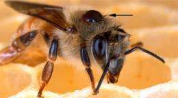 Researchers preparing bee semen bank