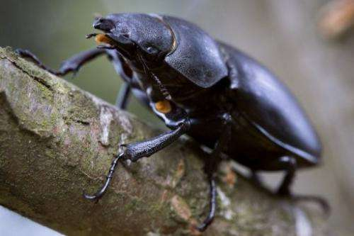 A picture taken on August 30, 2012 shows a stag beetle, in Saint Philbert sur Risle, northwestern France