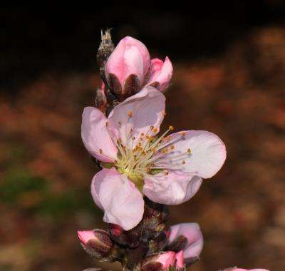 Peach genome offers insights into breeding strategies for biofuels crops