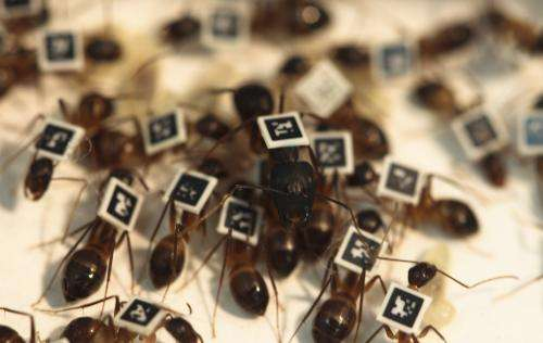 Researchers glue bar codes on to ants to study individual behavior within group (w/ video)
