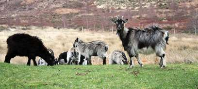 Global warming could cause goat populations to rocket