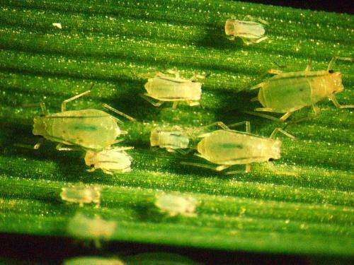 AgriLife Research study narrows the search for greenbug resistance gene in wheat