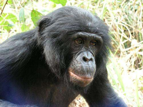 Study finds the forgotten ape threatened by human activity and forest loss