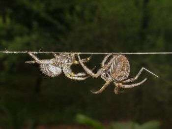 Study reveals strategy behind spiders' web etiquette