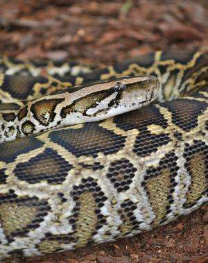 Secrets to 'extreme adaptation' found in Burmese python genome