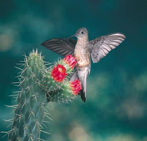New study reveals how hummingbirds evolved to fly at high altitude