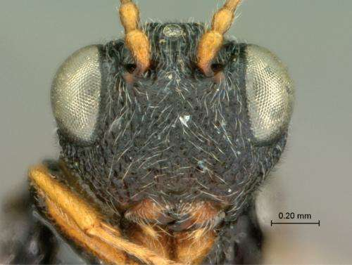 9 new wasp species of the genus Paramblynotus described from Africa and Madagascar