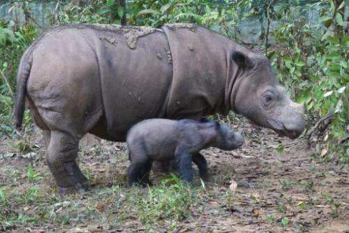A baby Sumatran rhinoceros with its mother in Way Kambas National Park in Lampung, Sumatra on June 24, 2012
