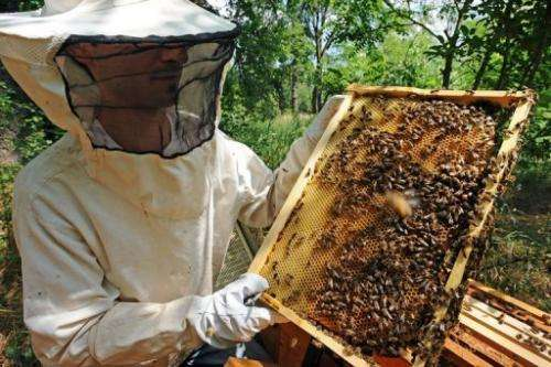 A beekeeper looks at a hive on June 1, 2012