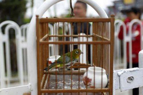 A bird in a cage is shown at a market in Beijing, April 13, 2013