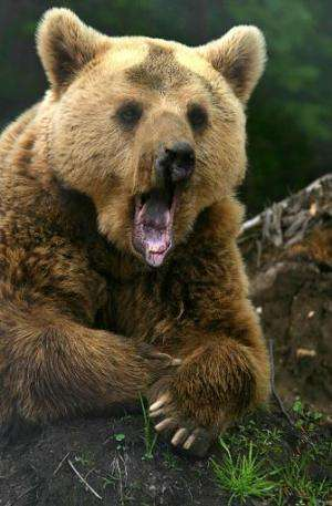 A brown bear yawns at the Dancing Bears Reserve near the town of Belitsa in Bulgaria's Rila mountains during the opening of the