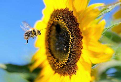 A bumblebee flies next to a sunflower on September 4, 2013, in Godewaersvelde, northern France