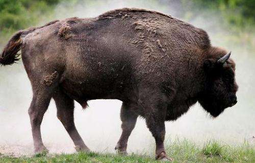 A European bison shakes off dust at a pasture in a Slovakian forestry farm in Topolcianky on May 5, 2007