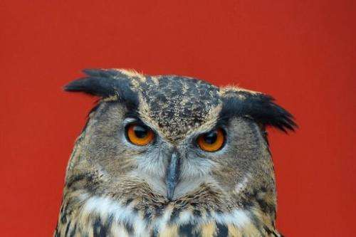 A European Eagle owl during the annual stocktake at ZSL London Zoo in central London on January 3, 2013