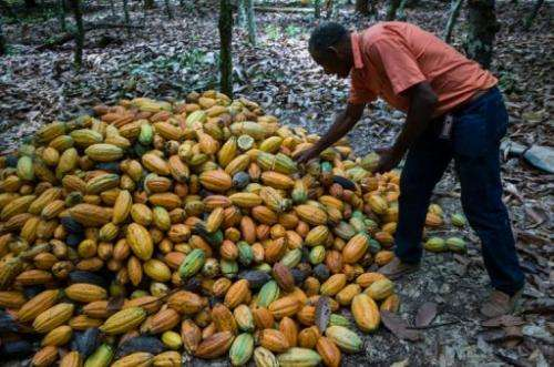 A farmer checks freshly harvested cacao beans at a farm in northern Brazil, on August 7, 2013