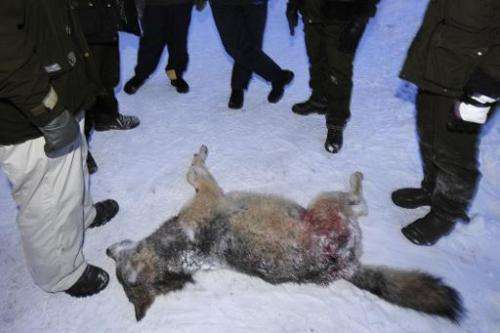 A female wolf weighing 39.5 kg lies on the snow, surrounded by hunters, after being shot during a wolf hunt near Kristinehamn, S