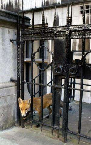 A fox looks through a gate at the Royal Courts of Justice in central London on September 23, 2003
