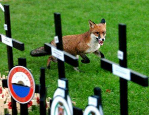 A fox runs in the Field of Remembrance in London's Westminster Abbey on November 11, 2004