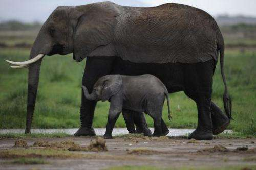 African elephants are pictured at the Amboseli game reserve in Kenya, on December 30, 2012