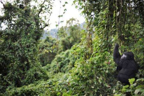 A gorilla picks foliage to eat on the slopes of Mount Mikeno in the Virunga National Park on November 28, 2008